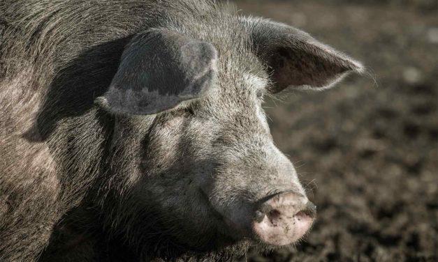 Sagra del maiale e del cinghiale
